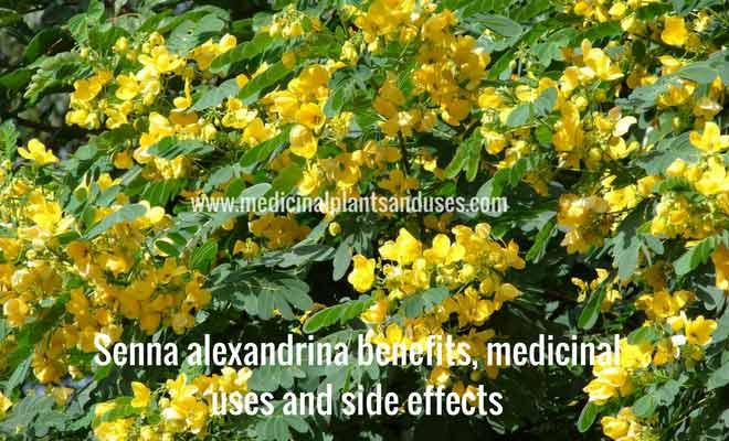 Senna alexandrina benefits, medicinal uses and side effects