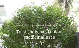 Tulsi plant medicinal uses