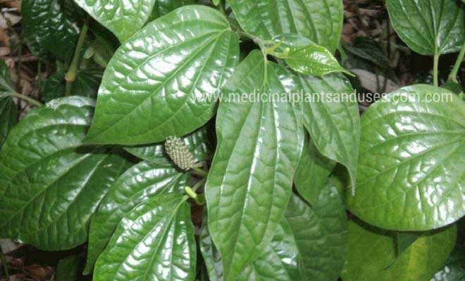 long pepper leaves