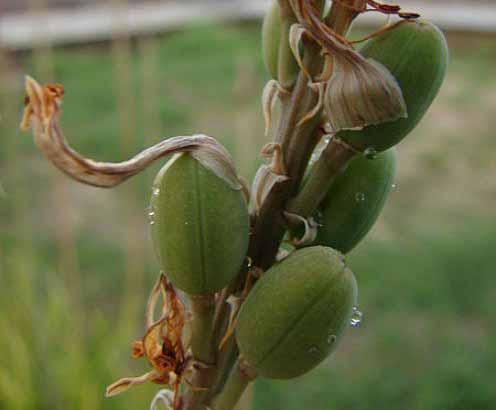 Aloe vera fruits