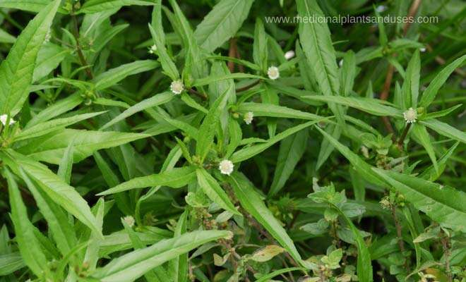 Bhringraj medicinal uses, health benefits and properties