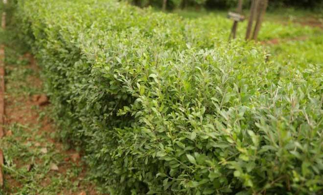 Henna or Mehndi plant medicinal uses