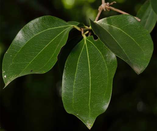Nux vomica leaves