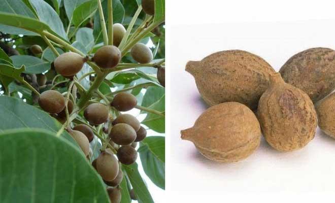 Terminalia bellerica fruits
