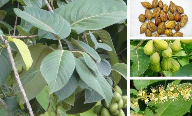 Terminalia chebula fruit, flowers and leaves