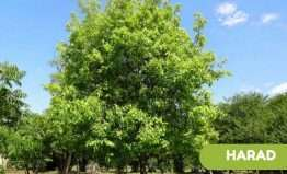 Terminalia chebula (harad/haritaki) medicinal uses and health benefits