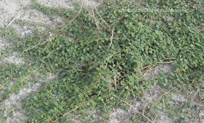 Tribulus terrestris health benefits, medicinal uses (Gokhru)