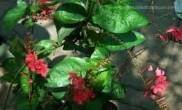 Plumbago indica plant medicinal uses and common name