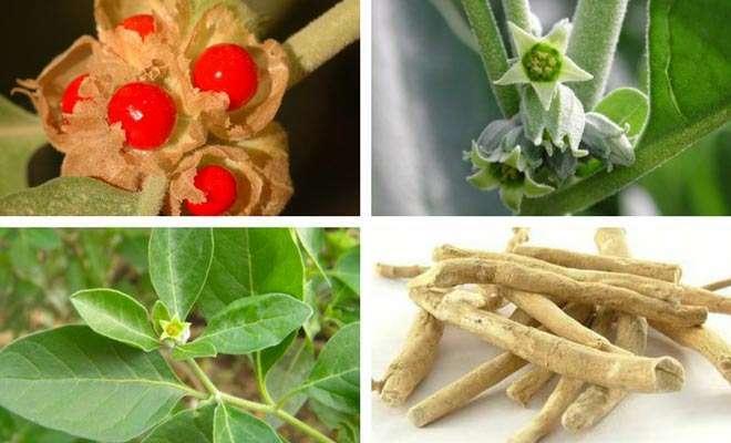 Ashwagandha fruit, flower, root and leaves