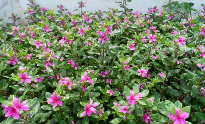 Catharanthus roseus medicinal use and side effects (vinca rosea)