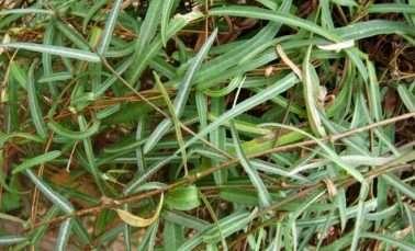 Hemidesmus indicus medicinal uses and benefits (Indian Sarsaparilla)