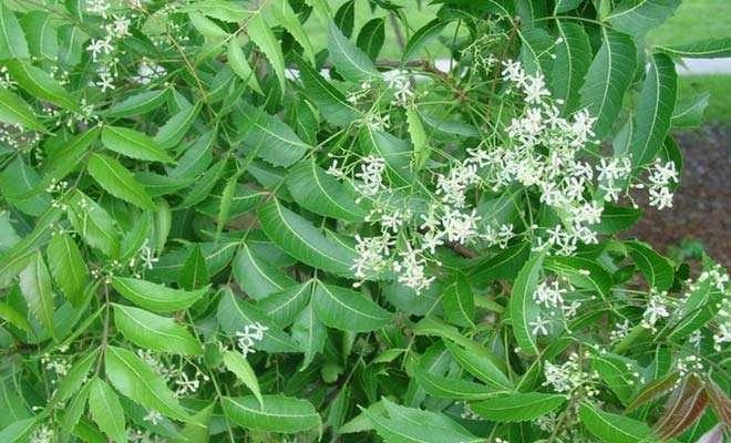 neem tree medicinal uses benefits and side effects. Black Bedroom Furniture Sets. Home Design Ideas