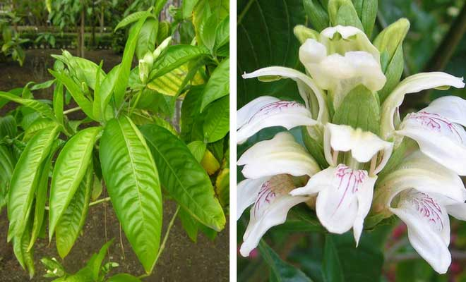 Malabar Nut leaves and flowers