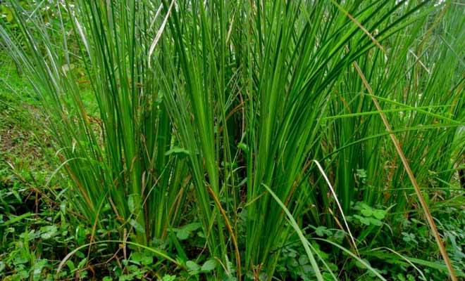 Medicinal plant khus khus (Vetiver) benefits and uses