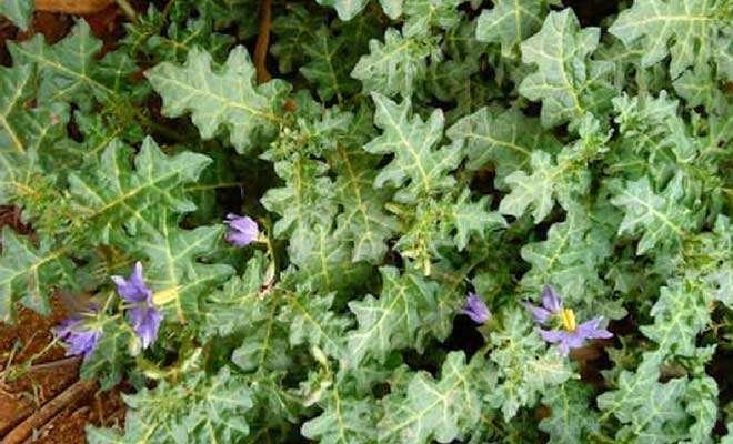 Solanum xanthocarpum (Wild eggplant) medicinal uses and health benefits