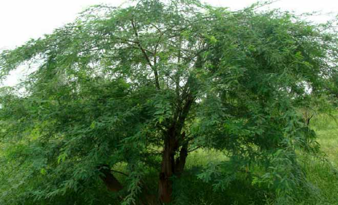 Acacia Nilotica medicinal uses, health benefits and pictures