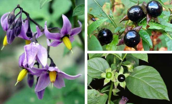 Atropa belladonna plant health benefits and images