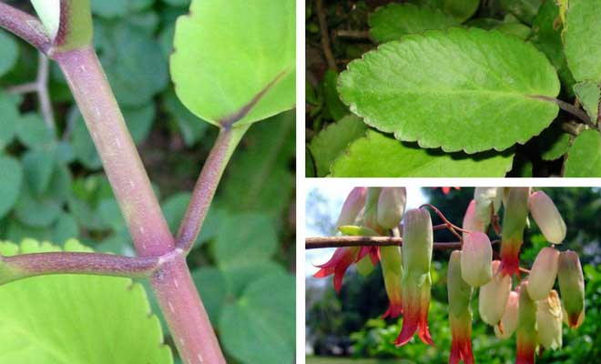 Bryophyllum pinnatum leaves, flower and stem