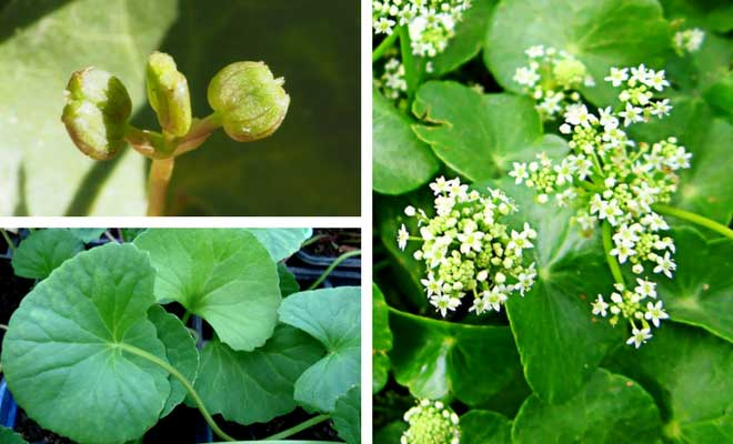 Centella asiatica fruit flowers and leaves