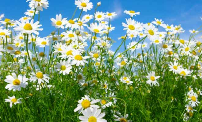 Chamomile tea, flower and oil benefits for skin, hair and health (camomile)