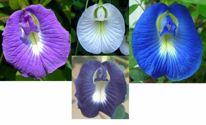 Clitoria ternatea flowers