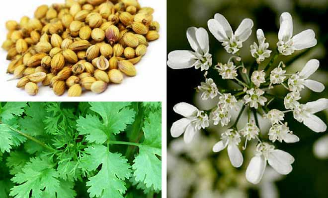 Coriander seeds, leaves and flowers