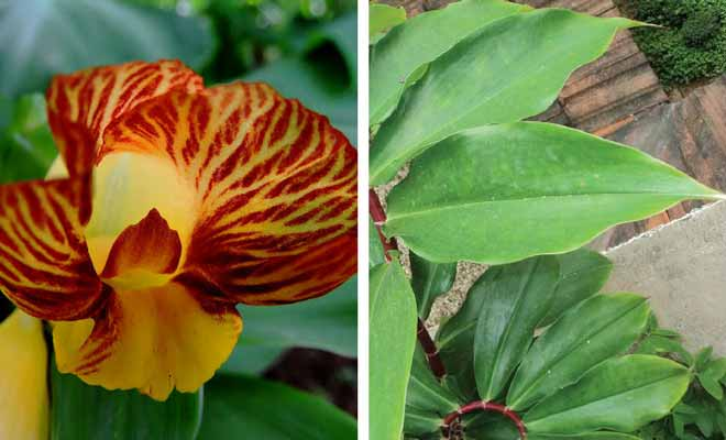 Costus igneus flower and leaves