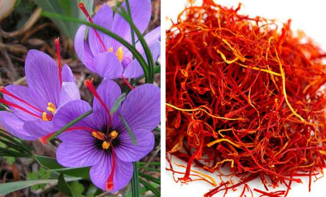 Kesar Crocus Sativus health benefits