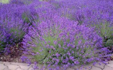 Lavandula angustifolia plant uses and health benefits (Lavender)
