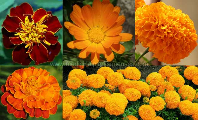 Marigold flower benefits, plant medicinal uses and images