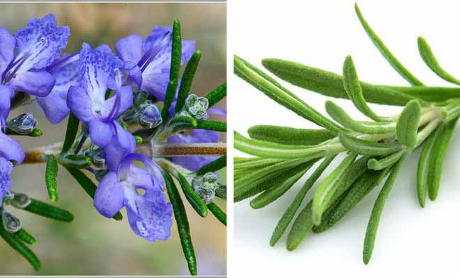 Rosemary flowers and leaves