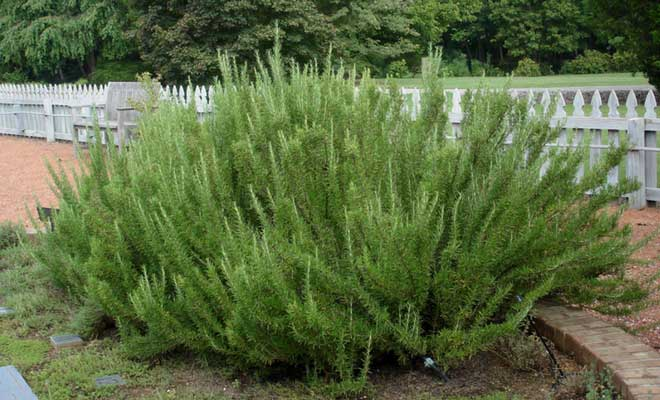 Rosemary uses and health benefits