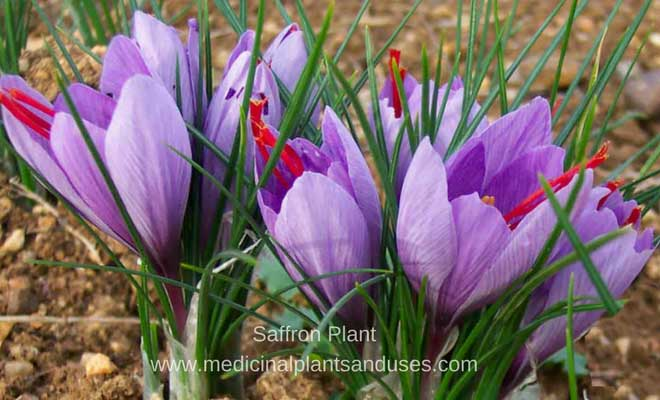 Saffron benefits and medicinal uses for skin, hair and health