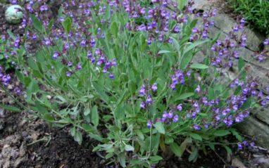 Salvia officinalis (Sage herb) medicinal uses and benefits