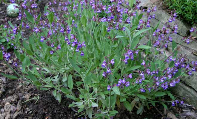 Salvia Officinalis Sage Herb Medicinal Uses And Benefits