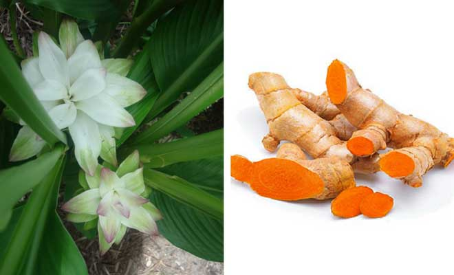 Turmeric root and flowers