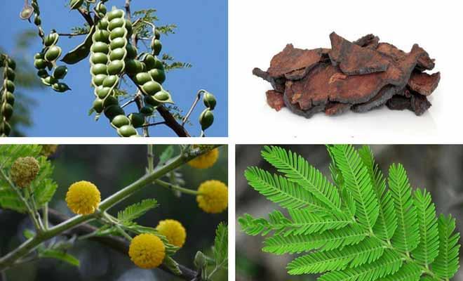 babool tree fruit, flower, leaves and bark