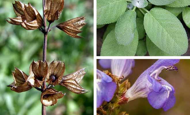 sage herb flowers fruit leaves