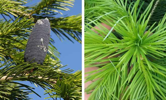 Abies Pindrow fruit and leaves