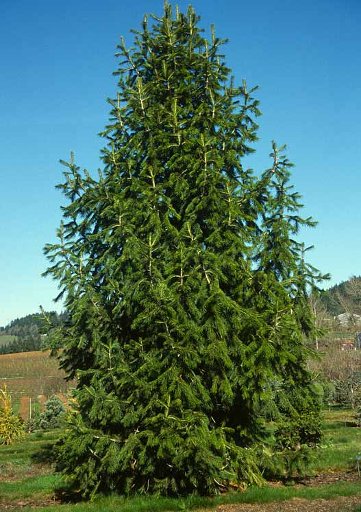 Abies Pindrow tree medicinal uses