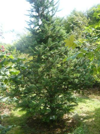 Abies spectabilis tree medicinal uses