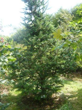 Abies webbiana tree medicinal uses