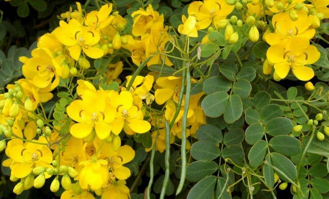 Cassia Angustifolia plant medicinal uses and side effects (Senna)