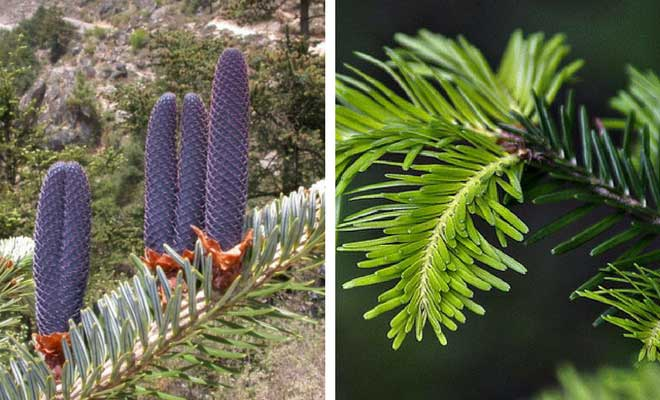Indian Silver Fir fruits and leaves