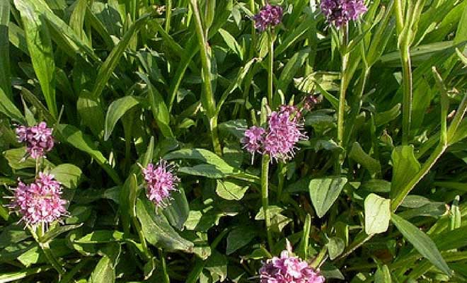Jatamansi plant medicinal uses and benefits (Spikenard)