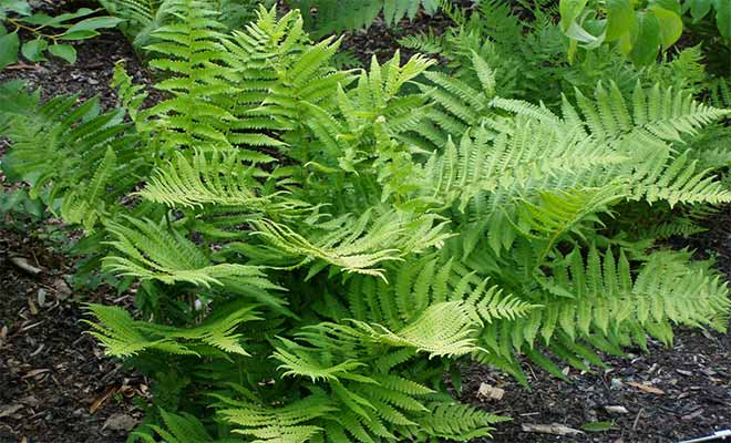 Lady fern plant uses, health benefits and images (Athyrium filix-femina)