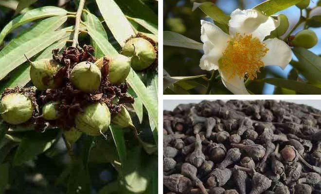 Nagkesar fruit flower and seeds