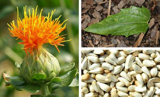 Safflower flower, seeds and leaves