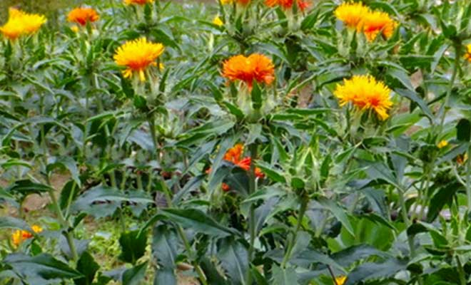 Safflower medicinal uses, health benefits and side effects