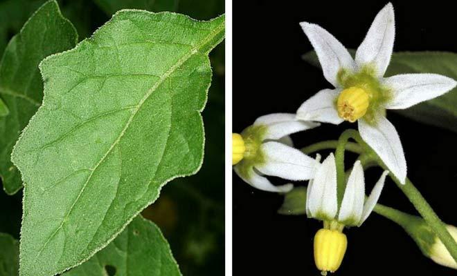 Solanum nigrum leaf and flowers